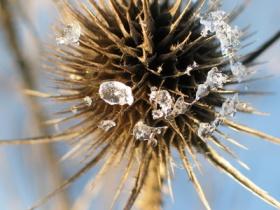 distel nach eiszeit Blume
