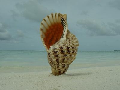 shell Muschel
