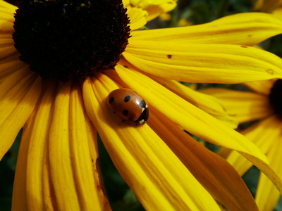 ladybug flower Blume