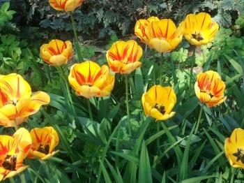 Blume, Tulpe, Licht