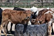 cow-419081_960_720